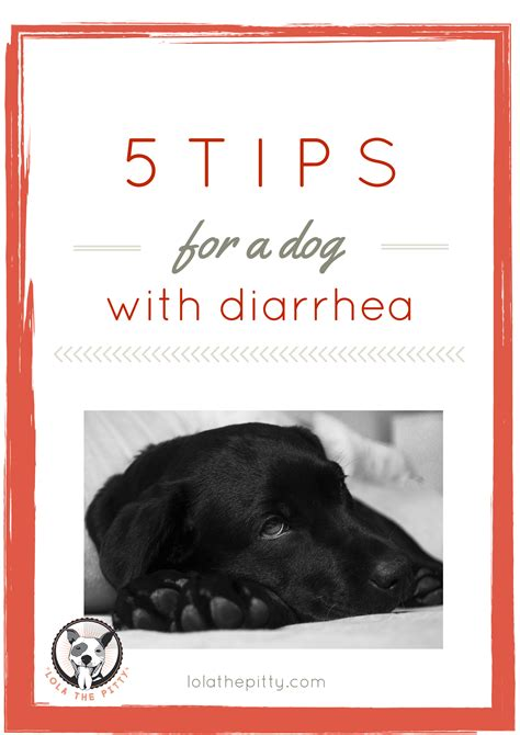 what to give dogs for diarrhea 5 tips for treating diarrhea lola the pitty