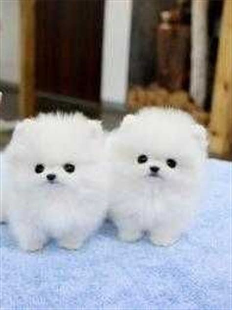 do pomeranian puppies shed 17 best images about no shedding dogs on teddy dogs portuguese water