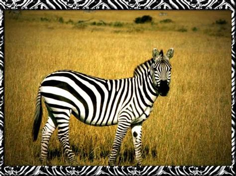 house zebra zebras home