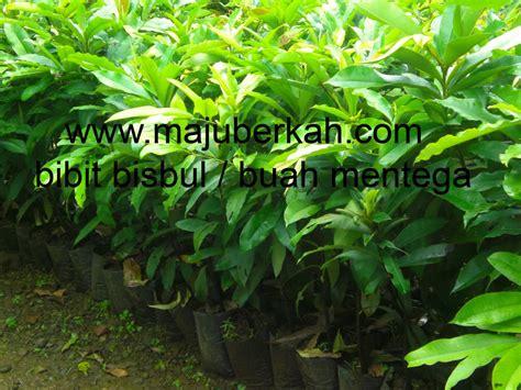 Bibit Durian Bawor Purworejo aneka bibit tanaman cv majuberkah i bibit tanaman i bibit