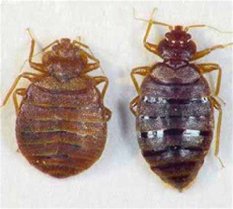 bed bug types types of bed bugs common bed bug types in the usa