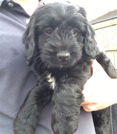 black cockapoo puppies black white f2 cockapoo puppy for sale chinnor oxfordshire pets4homes