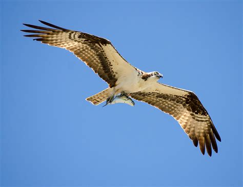 flying with large osprey flying with large salmon wings and feathers