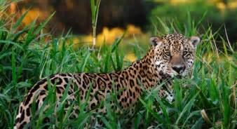 What Does Jaguars Eat In The Rainforest Jaguar Basic Facts About Jaguars Defenders Of Wildlife