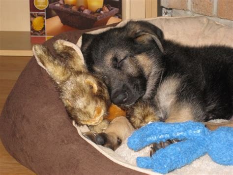 free puppies in east german shepherd puppies for free dogs our friends photo