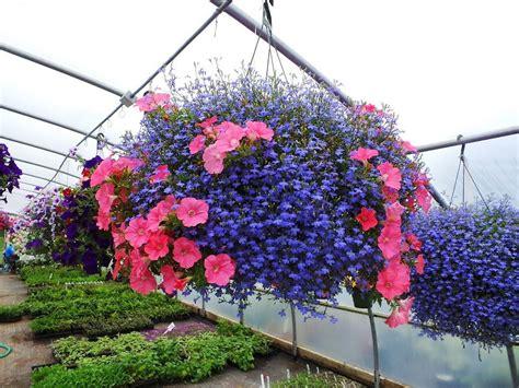 Safira Flower lobelia sapphire blue azul safira sementes flor para mudas r 7 99 em mercado livre