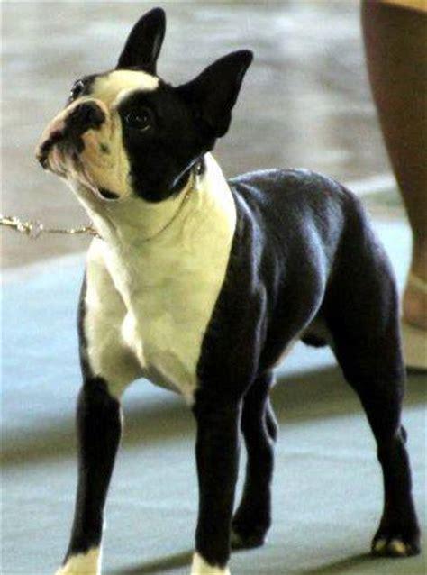 boston colors acceptable boston terrier colors black color