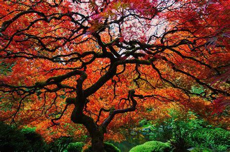 hisao mogi maple bright color maple photograph by hisao mogi