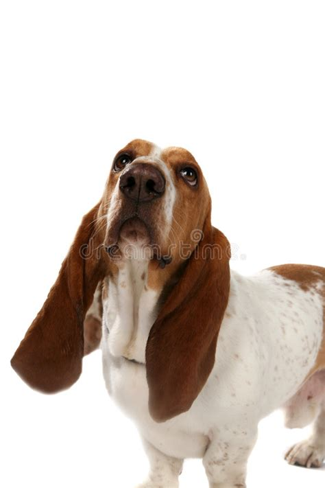 basset hound  big long ears stock photo image