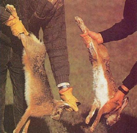 come cucinare il lepre selvaggina lepre comune o lepre europea lepus europaeus