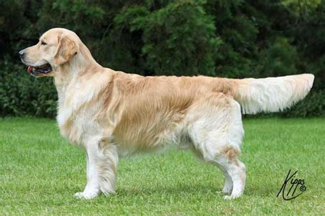 golden retriever show discussion why do uk and us golden retrievers look different dogs