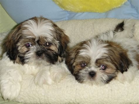 shih tzu yorkie mix price american bulldog puppies shih puppies pictures