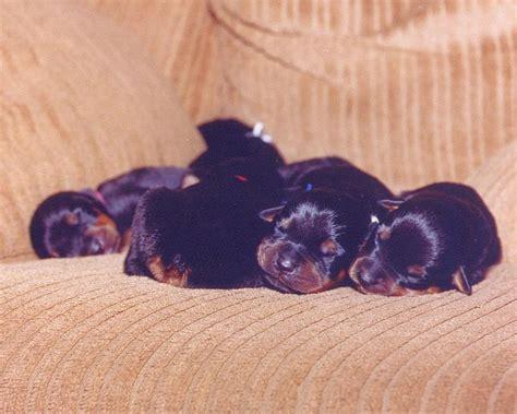 rottweiler breeders hawaii rottweiler breeders pictures jpg 1 comment hi res 720p hd