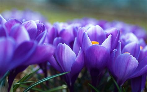 crocus flowers wallpapers hd wallpapers