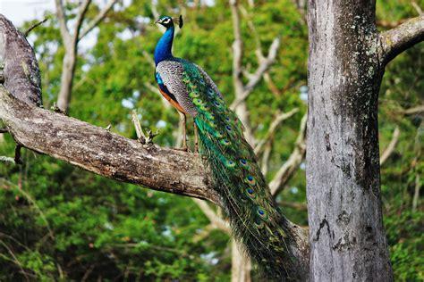 peacock tree file beautiful indian peacock on a tree jpg wikimedia