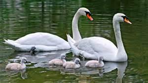desk bird water water birds family animals swans baby birds wallpaper