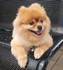 pomeranian puppies wiki pomeranian