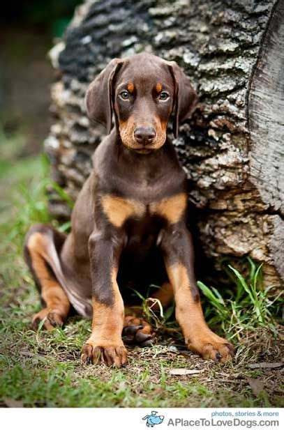 doberman puppy 17 best ideas about doberman puppies on
