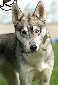 how many puppies do huskies why do so many huskies heterochromia quora