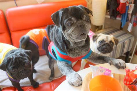 pug cafe japan kyoto s living room pug caf 233 lets all the dogs out photos soranews24
