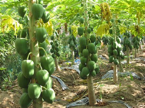 Pepaya California Hibrida hướng dẫn kỹ thuật trồng c 226 y đu đủ cho năng suất cao