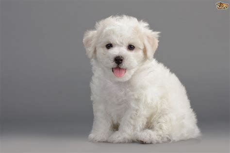 best non shedding small dogs non shedding breeds