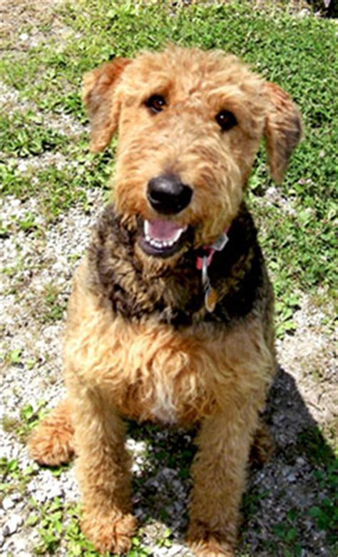 syracuse puppies for sale airedale puppies for sale hank airedale terrier puppy for sale in pennsylvania