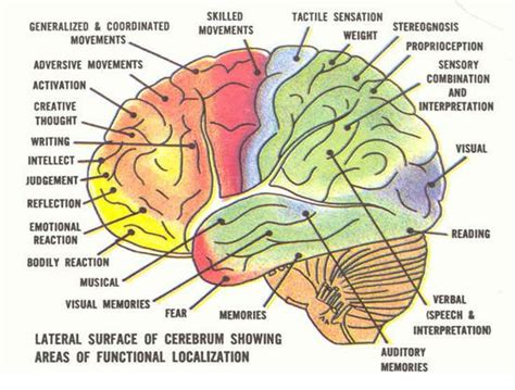 Sections Of The Brain And What They by Brain Image Brain Function Chart