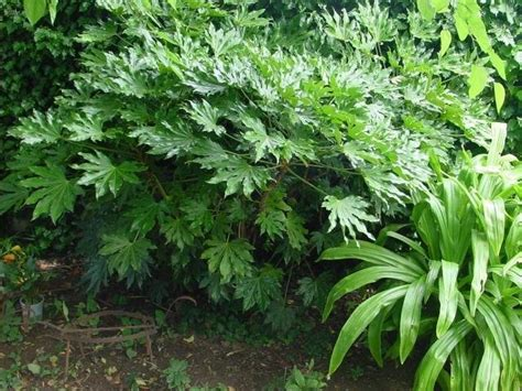 plantfiles pictures fatsia paperplant japanese aralia fatsia japonica by ladyannne