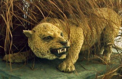 imagenes de animales wikipedia leopardo de zanz 237 bar wiki acam fandom powered by wikia