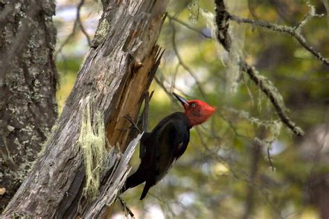 species profile magellanic woodpecker conservacion