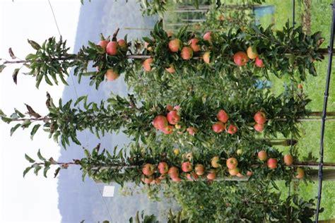 apfelbaum garten shootingstar quot s 228 ulenapfel quot der besondere apfelbaum im