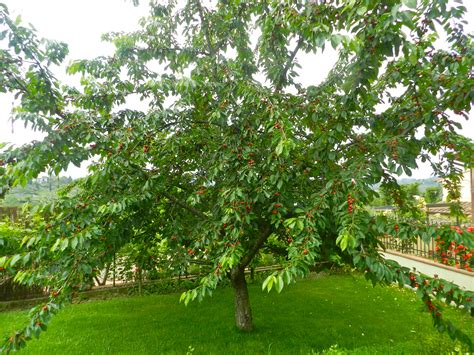 a tree that does not fruit monalia s world 187 florence in the