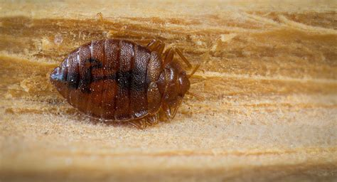 bed bug exterminator chicago ick more bed bugs in the us than ever before sputnik