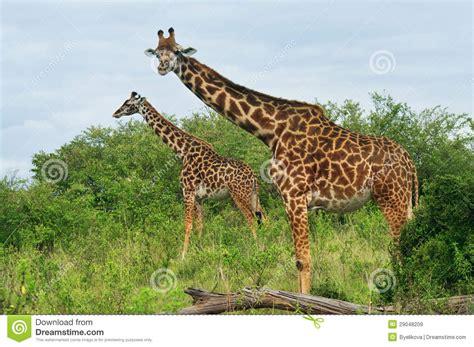 imagenes de jirafas salvajes jirafas salvajes en la sabana im 225 genes de archivo libres