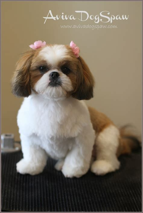 puppy shichon haircuts shih tzu puppy after grooming teddy bear trim puppy cut