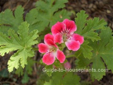 scented geranium tender perennial geranium plant care