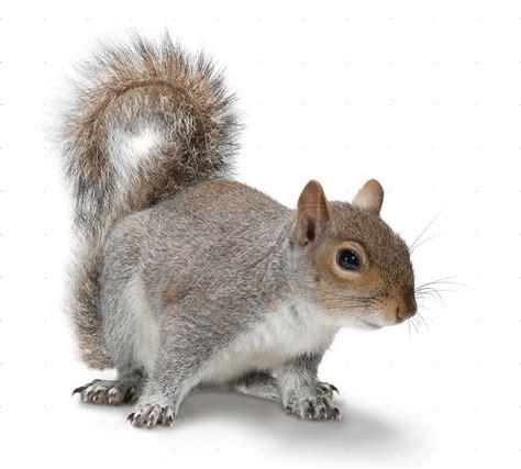 squirrel images squirrel west