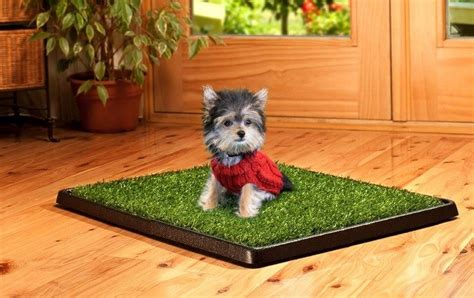 how to potty a yorkie puppy terrier potty information 1001doggy