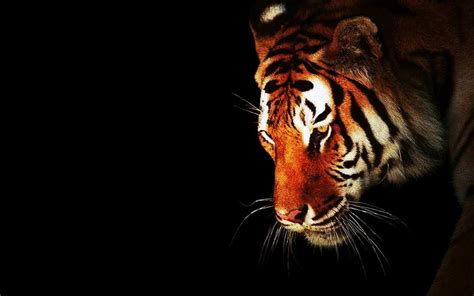 wallpaper hd black tiger tiger wallpapers for desktop hd 57 wallpapers adorable