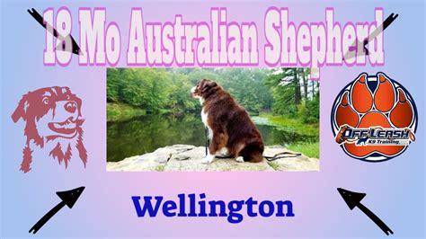 18 Mos Australian Shepherd Wellington 2 Week Board And Train Delaware Dog Trainer