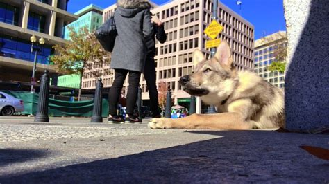 5 Month Old Wolf Dog Moose Food Aggression And Wolf Dog Training In Northern Virginia