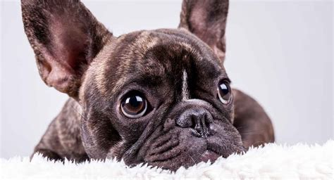 All About Frenchies – French Bulldog Tips & Information.