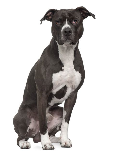 [click]american Pit Bull Terrier - Dog Breed Guide - Paws N Pups.