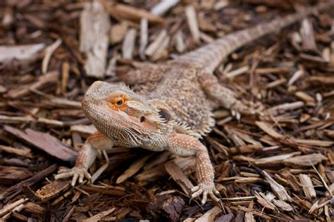 Bearded Dragon Care Sheet & Supplies Petsmart.