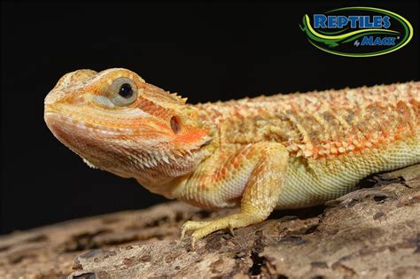 [click]bearded Dragon Care Sheet - Reptiles.