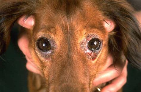Blepharitis Dogs