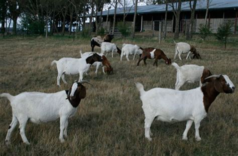 [click]boer Goat Profits Guide - Learn How To Start A Boer Goat .