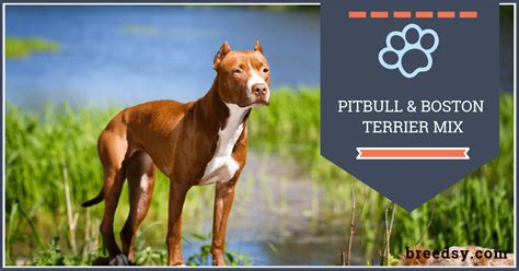 [click]boston Terrier Pitbull Mix Our Guide With Fun Facts And .