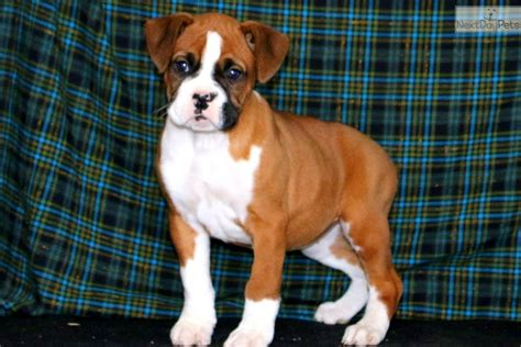 @ Boxer Ware - Boxer Puppies For Sale In Georgia - Meet .